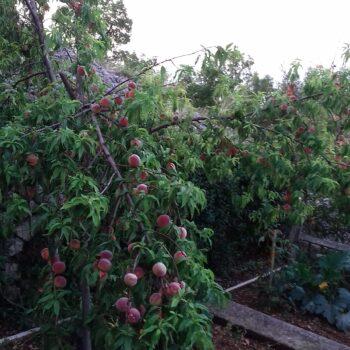Autohtone vrste voćaka u Kostreni – breskve vinogradarke
