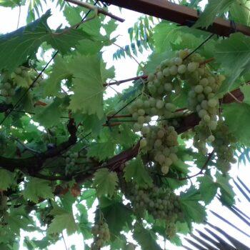Autohtone vrste voćaka u Kostreni – grožđe