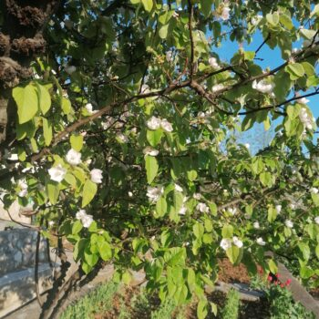 Autohtone vrste voćaka u Kostreni – dunja